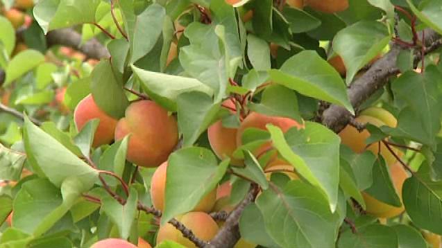 abricots rouges du Roussillon